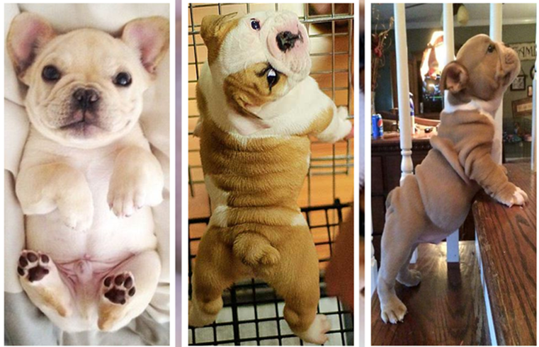 30+ cute bulldog puppies you wanna take home
