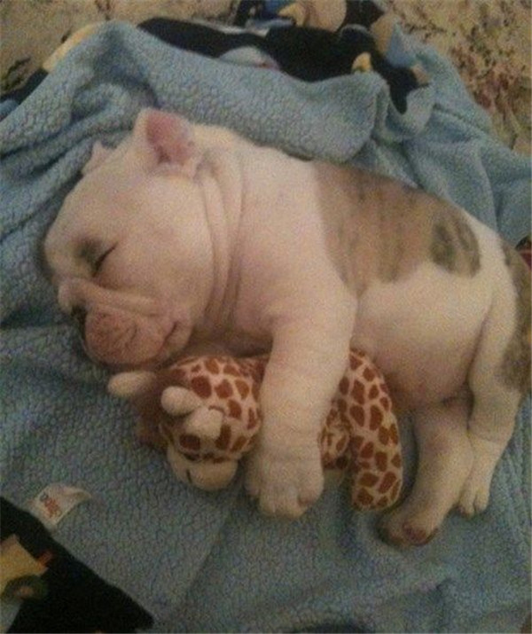 Sleepy cuddle bulldog puppy with favourie toy