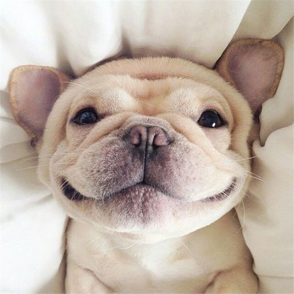 White French Bulldog cute animals dog puppy smile
