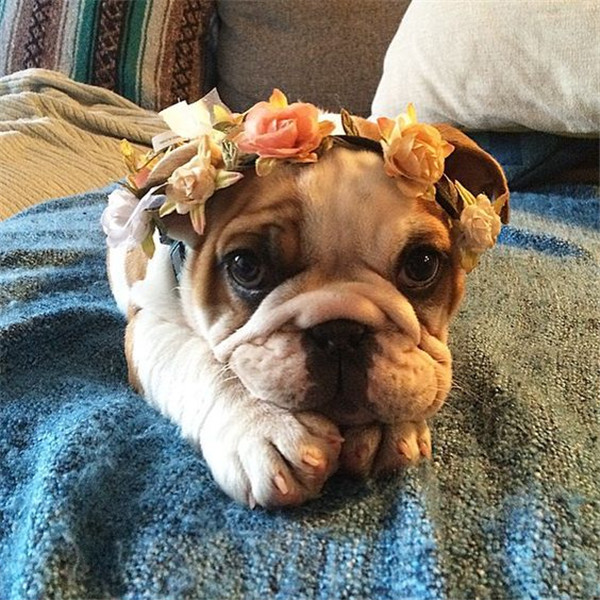 bulldog puppies with floral