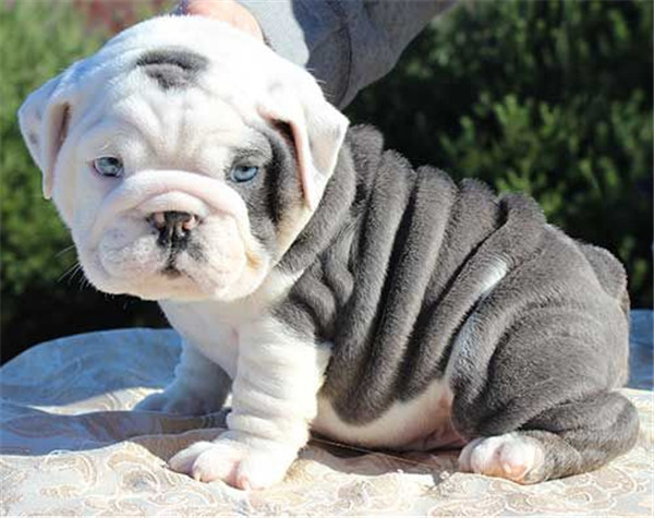 rare color english bulldog puppy