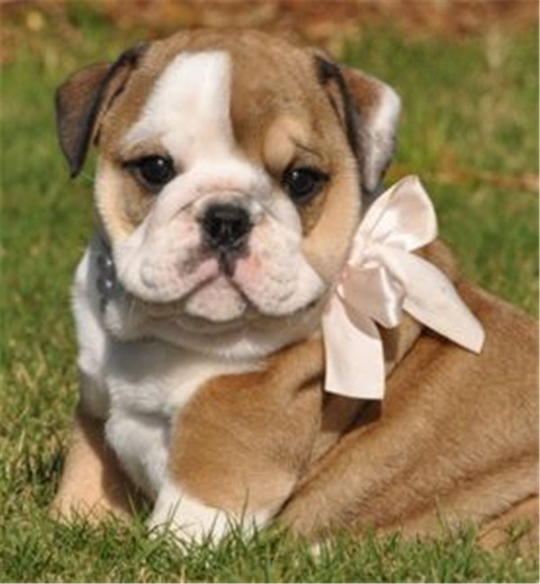 the ribbon bow make me look cuter - puppy
