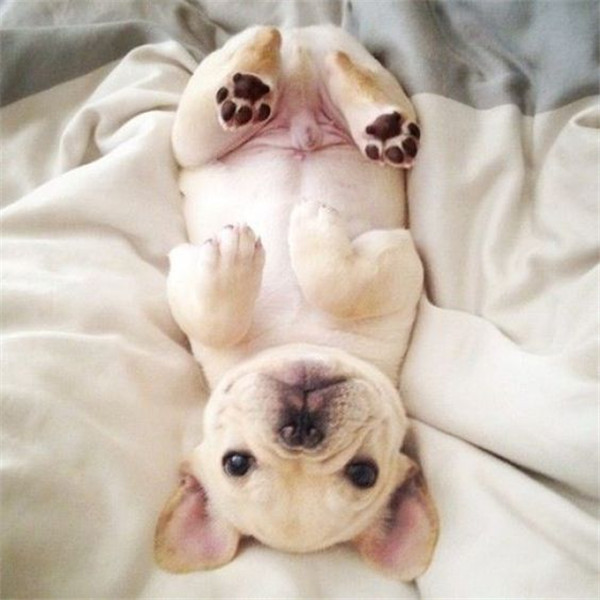 you have to love the french bulldog