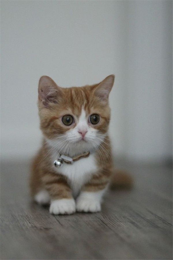 adorably short munchkin kittens