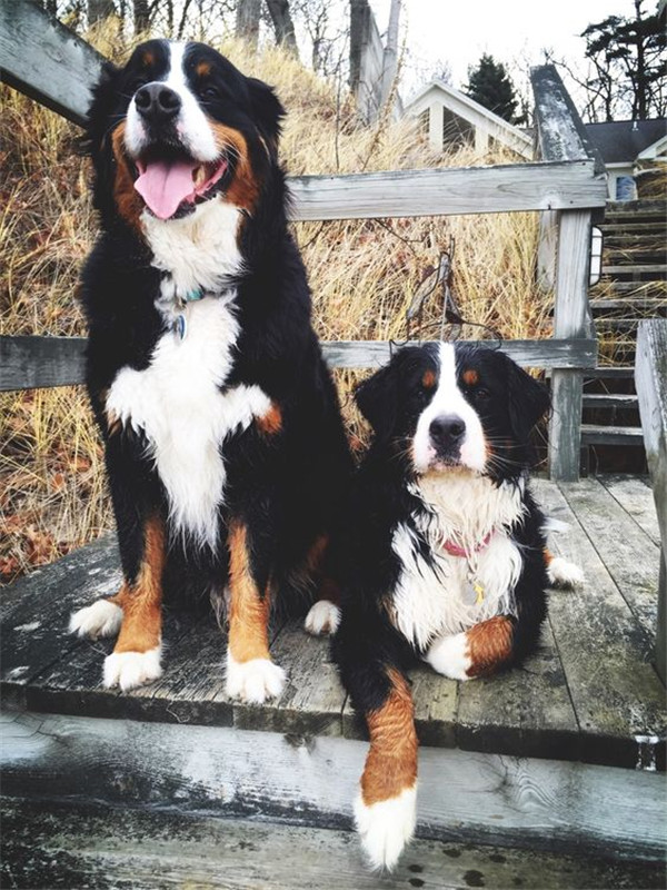 bernese-mountain-dog-10