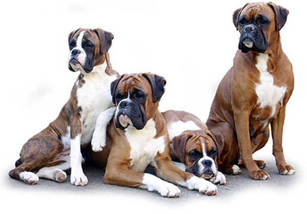 Boxers breed pictures