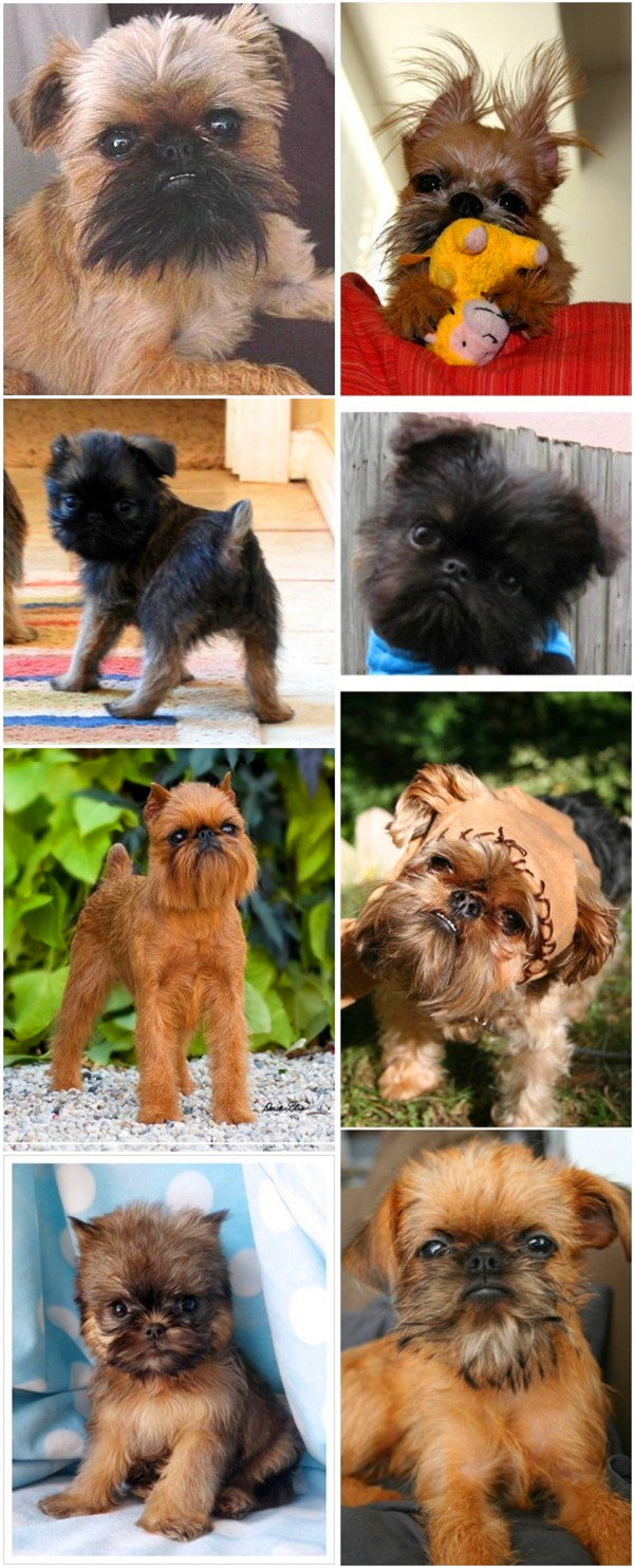 Cute small dog breeds 1 Brussels Griffon