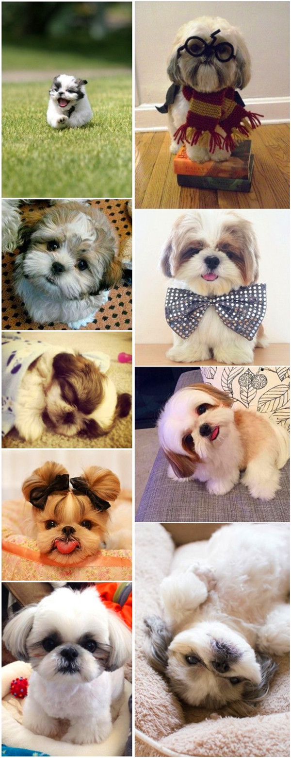 Cute small dog breeds 15 Shih Tzu dog