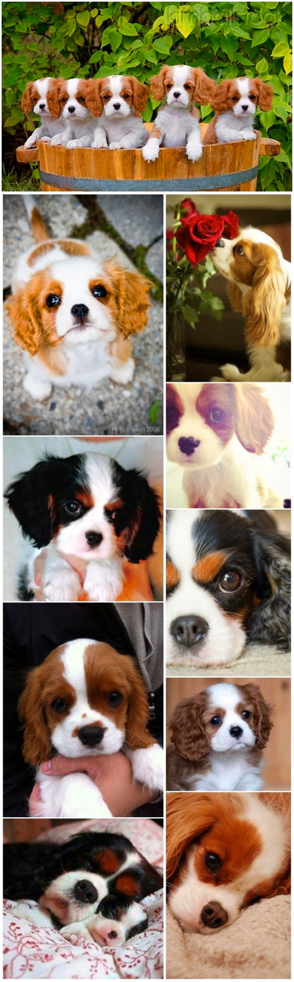 Cute small dog breeds 2 Cavalier King Charles Spaniel with puppies