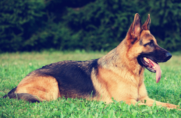 German Shepherd Dog Breeds
