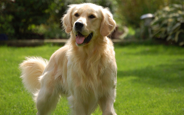 Golden Retriever Dog Breed