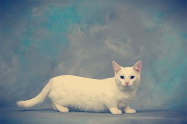 munchkin cat all white