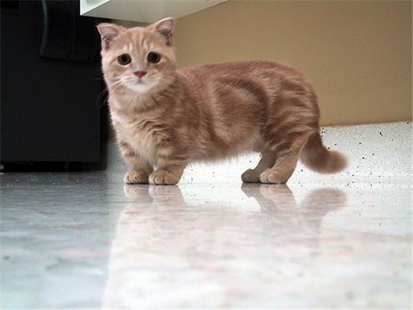 munchkin-cats