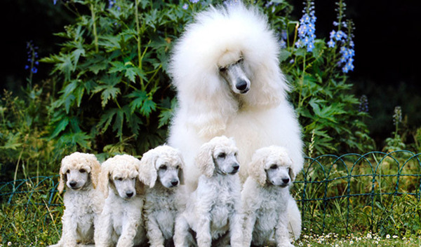 Poodle mum and puppies