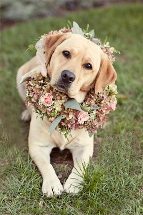 sweet yellow labrador