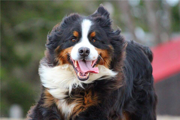 bernese-mountain-dog-1