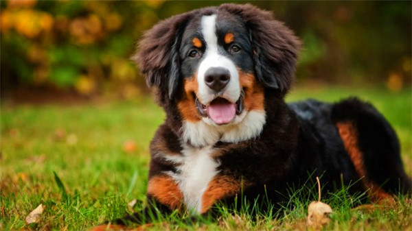 bernese-mountain-dog-5