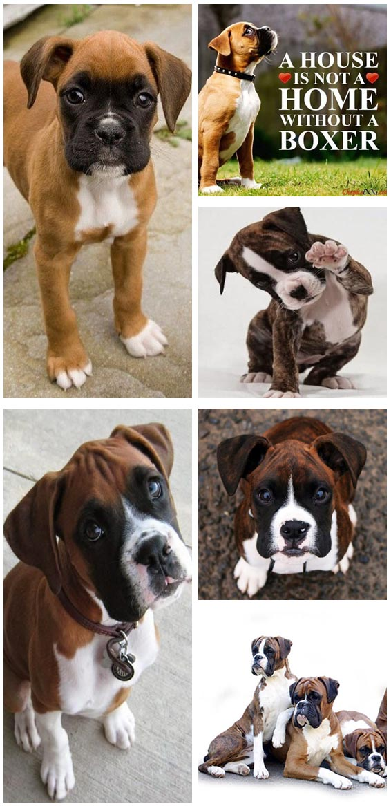 boxer dog breeds and puppies