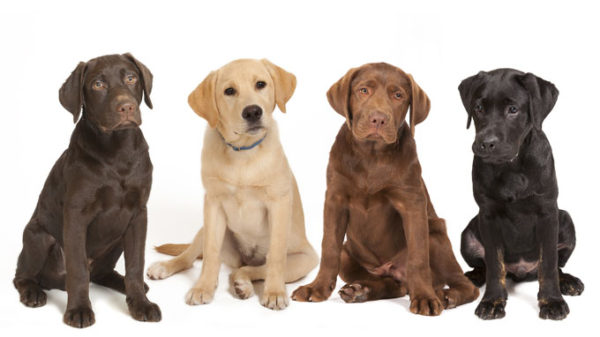 4 different colored Labrador puppies