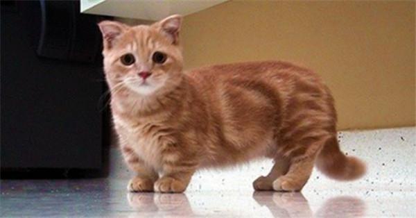 munchkin cat cute cute cute