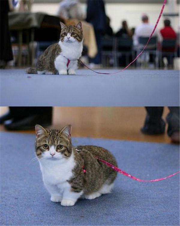 munchkin cat love love
