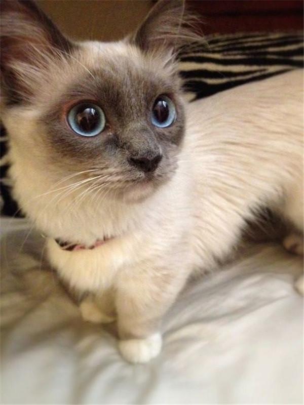 munchkin-siamese-kitten