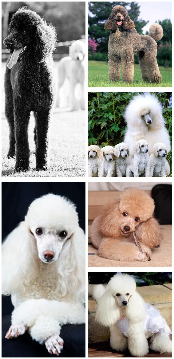 poodles breeds pictures