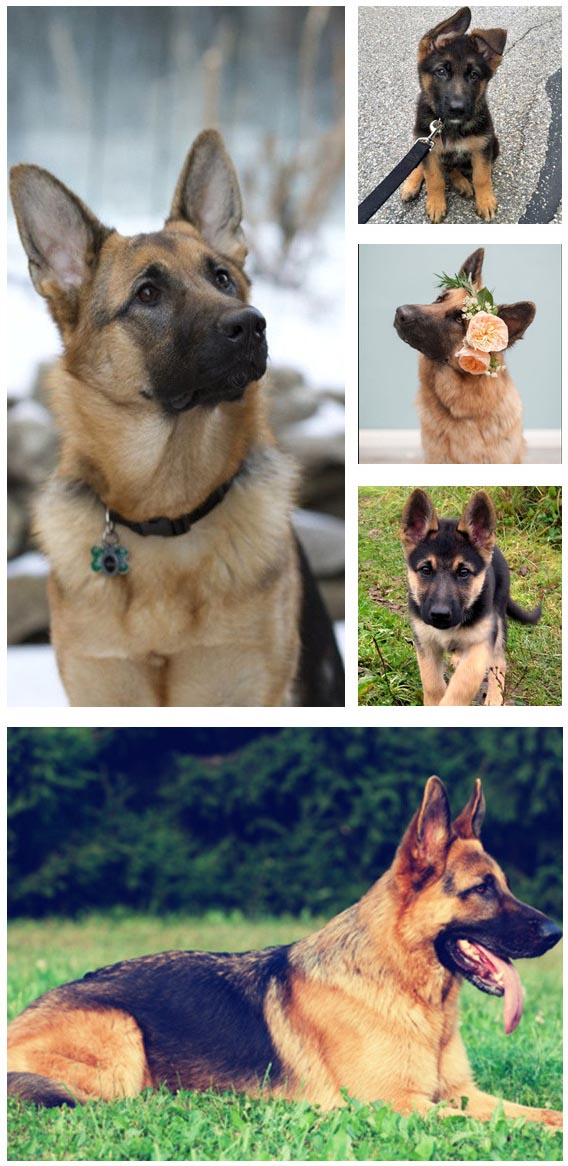 second most popular dog breed in America is German Shepherd Dog