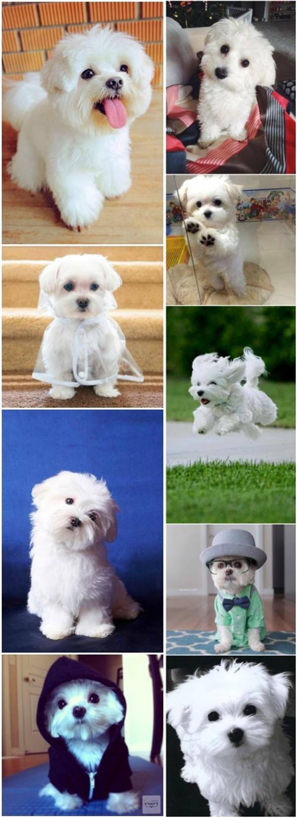 small dog breeds 10 Maltese