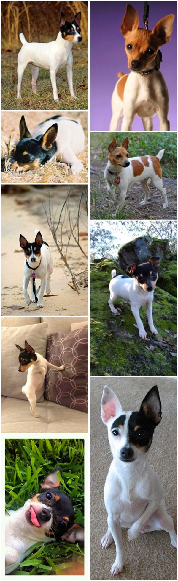 small dog breeds 11 Toy Fox Terrier