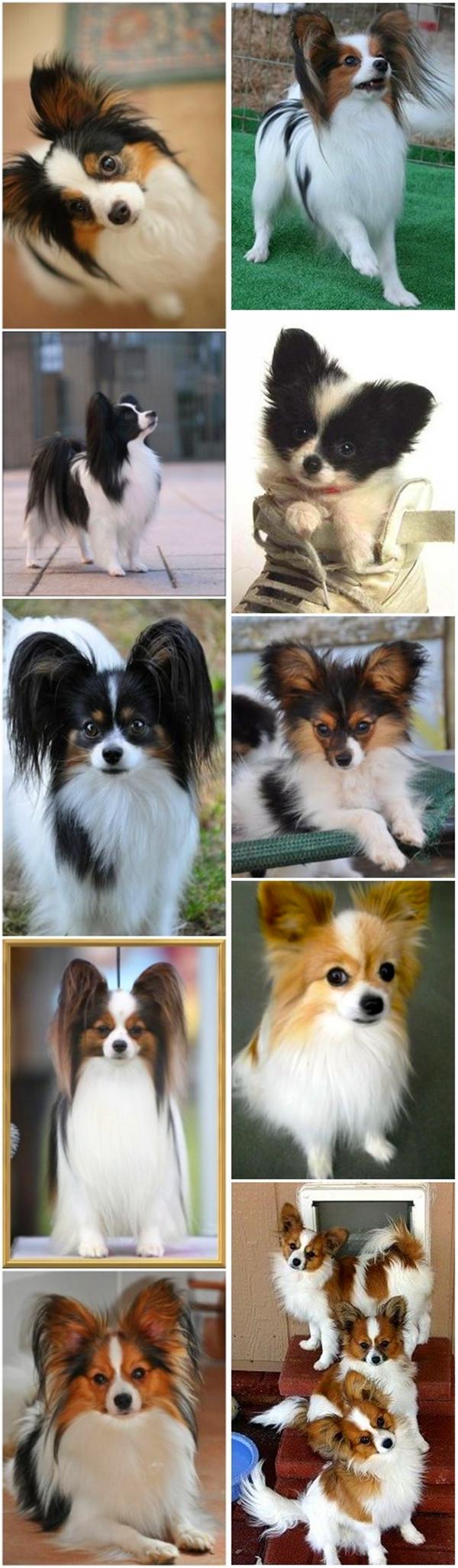 small dog breeds 12 Papillon