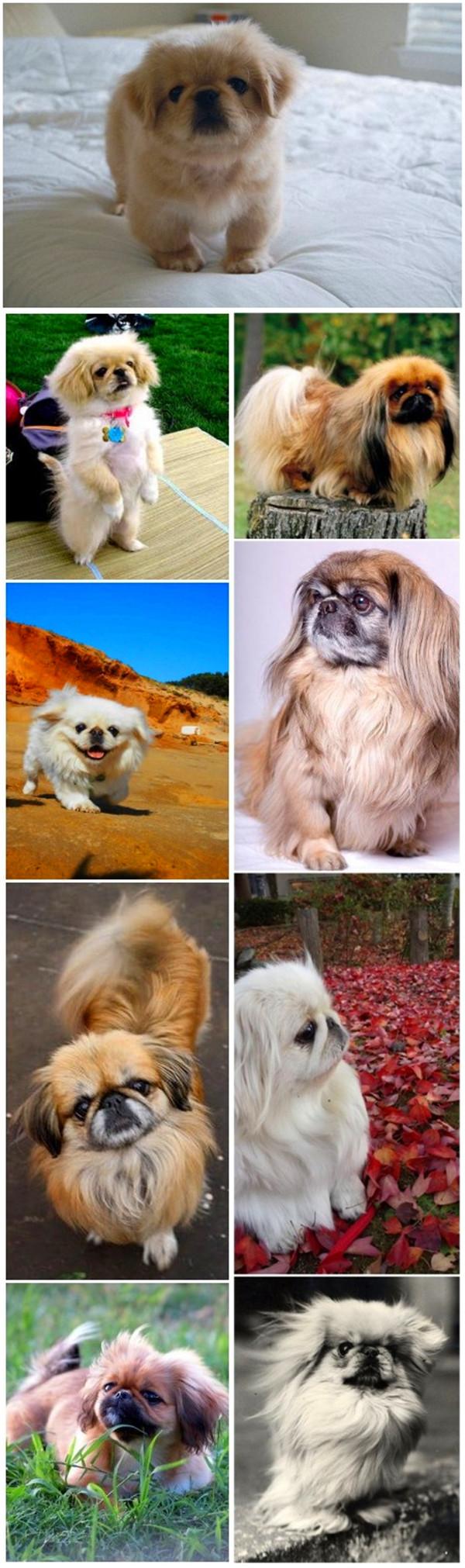 small dog breeds 13 Pekingese dog