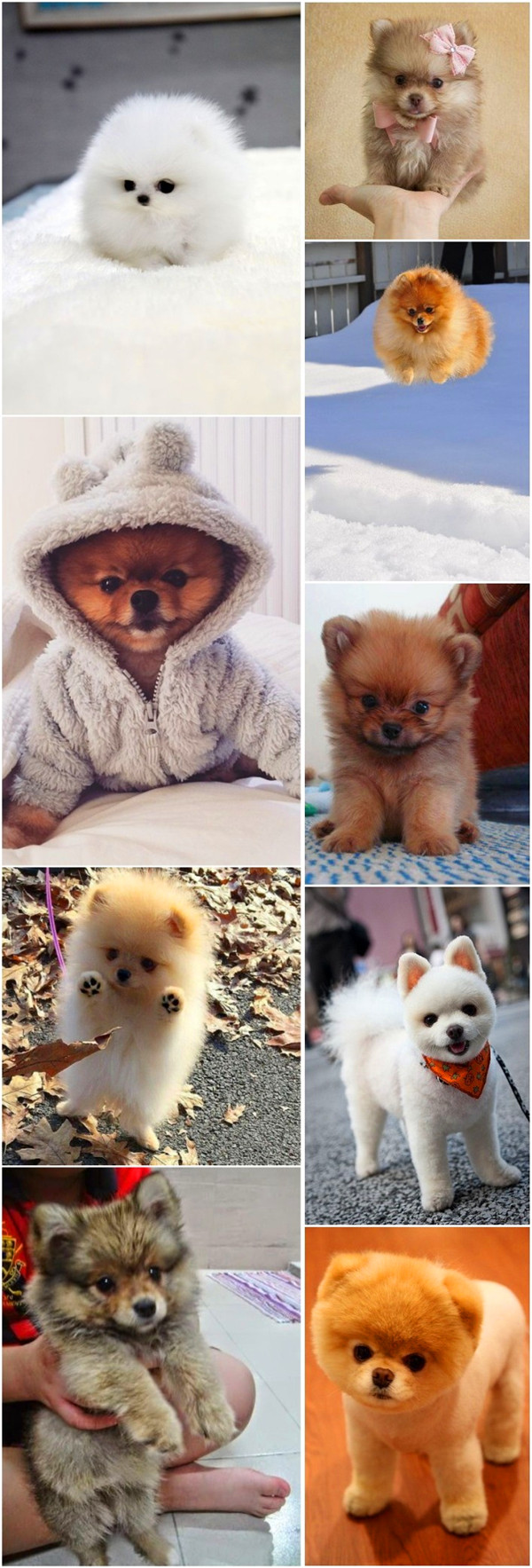 small dog breeds 14 Pomeranian dog