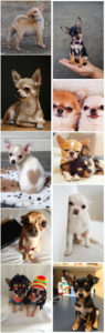 small dog breeds 3 Chihuahua