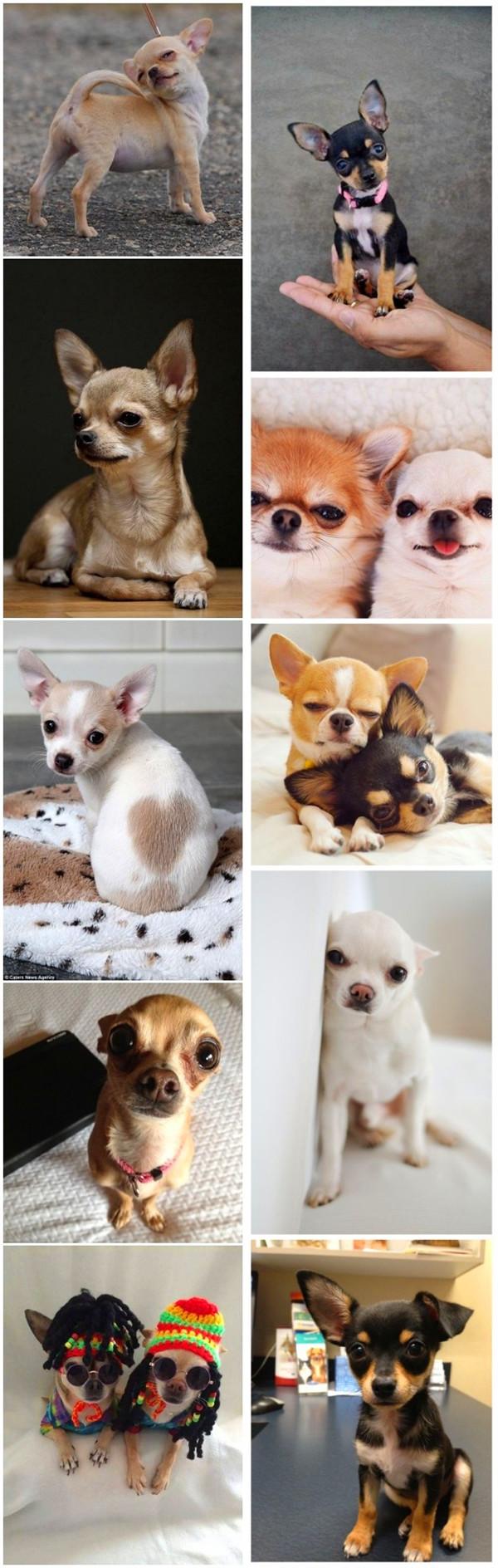 small dog breeds 3 Chihuahua