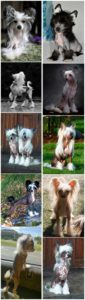 small dog breeds 4 Chinese Crested