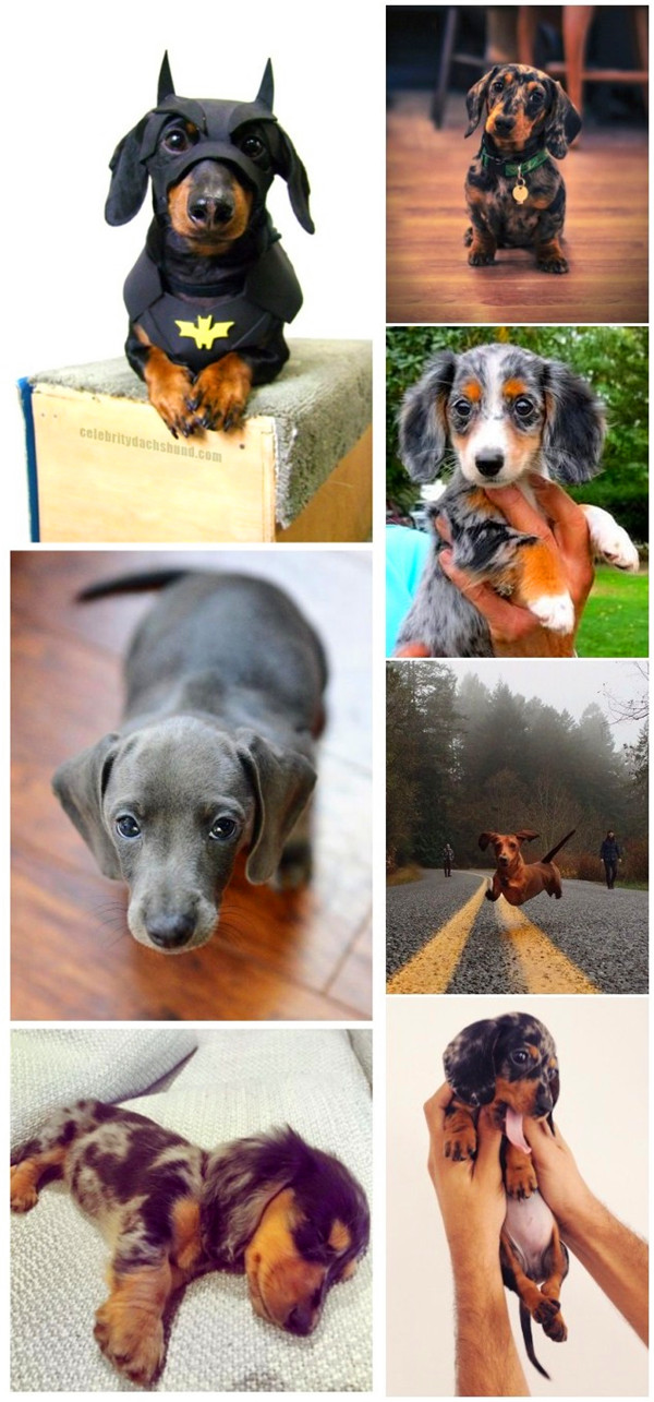 small dog breeds 5 Dachshund