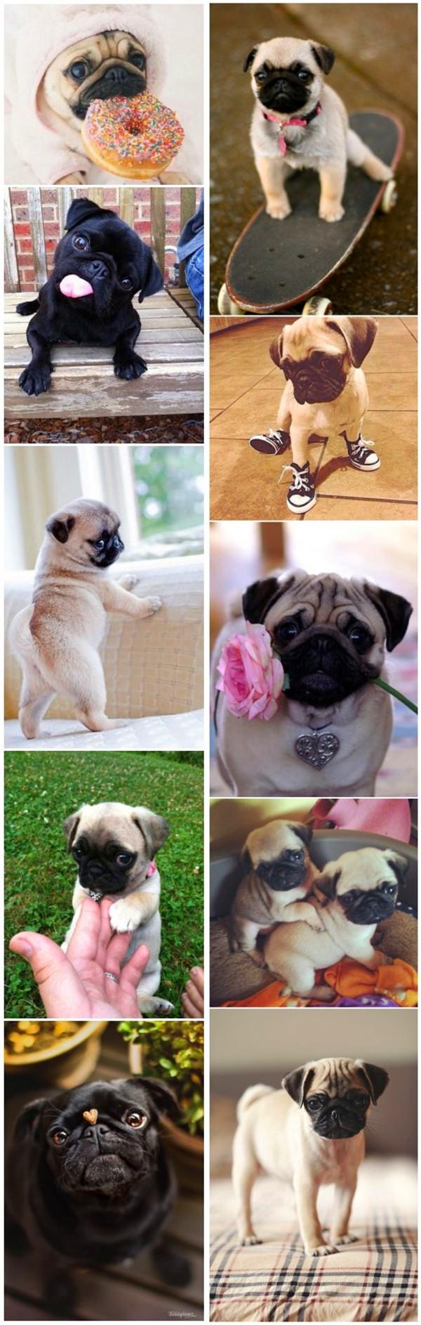 small dog breeds 6 Pugs