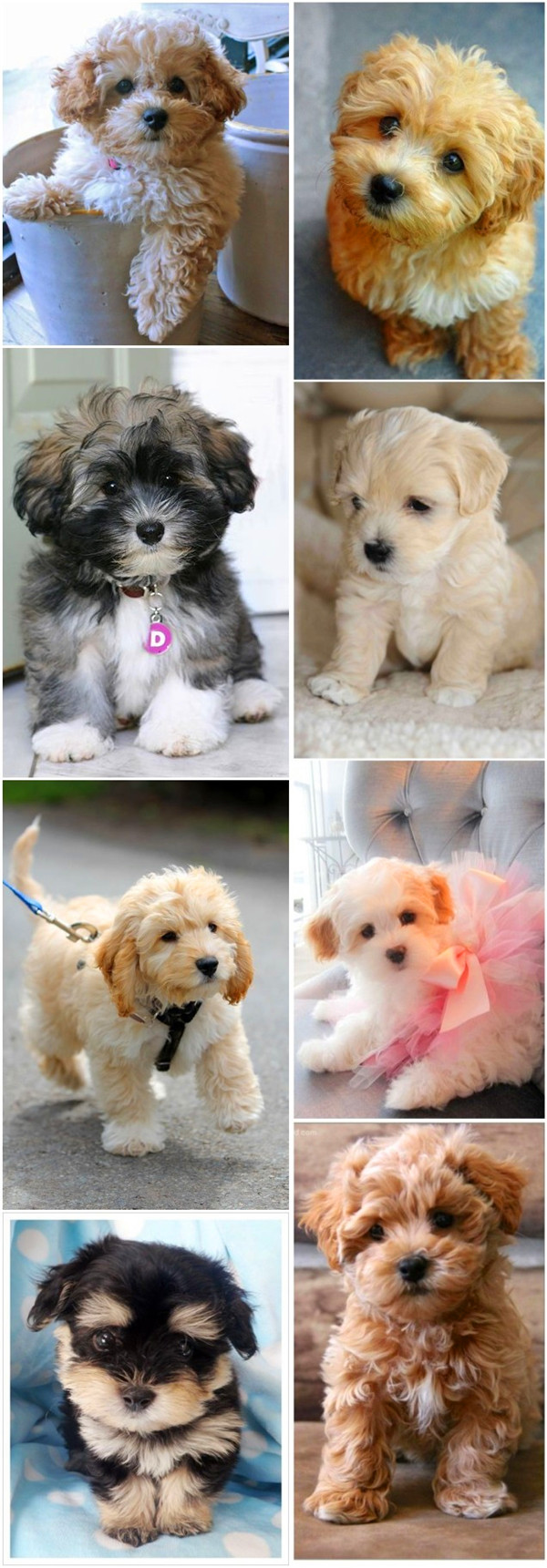 Tiny Toy Dog Breeds : Top cutest small dog breeds fallinpets