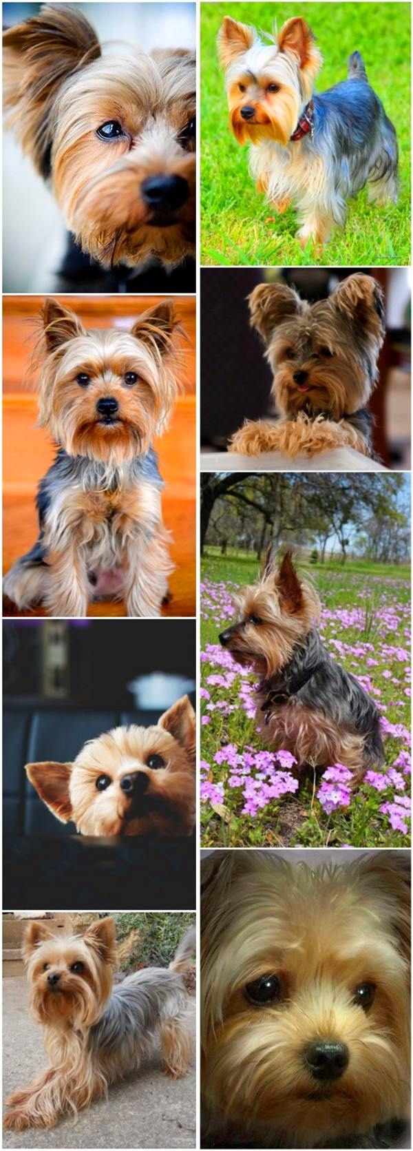 small dog breeds 8 Silky Terrier