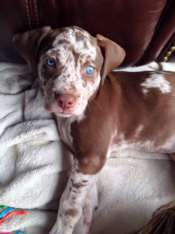 Louisiana Catahoula Leopard Dog Puppies