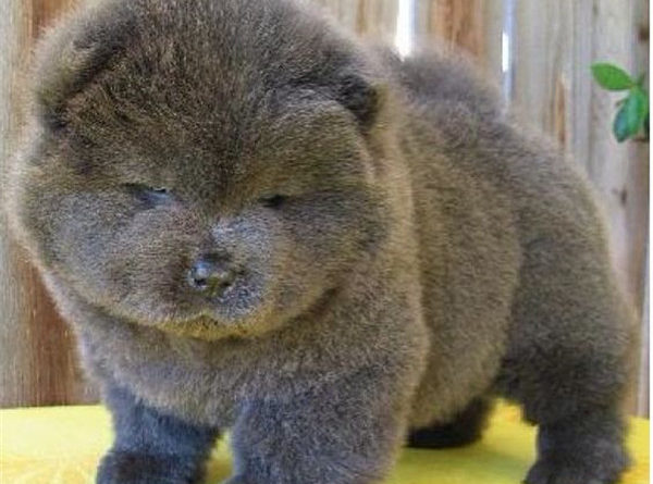 chocolate-chow-chow-puppy