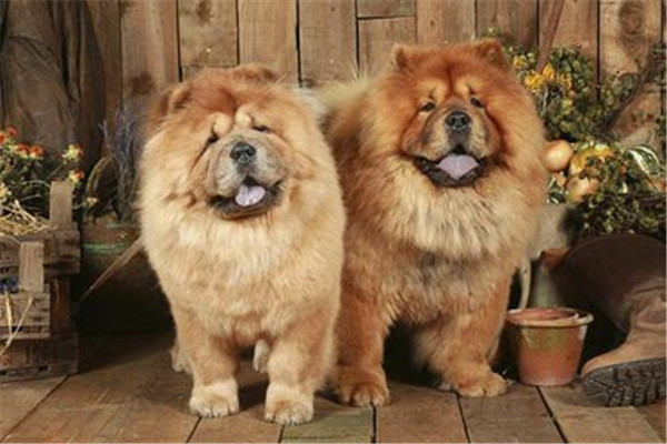 chow dogs