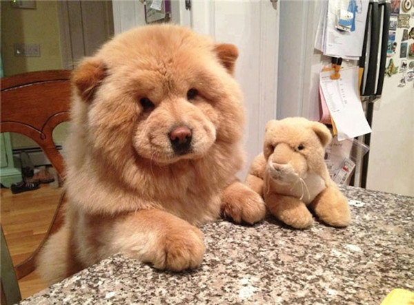 chow dog breed
