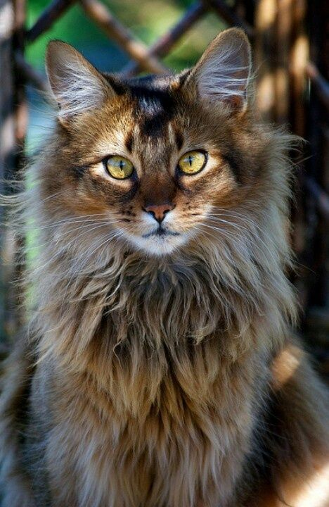 norwegian forest cat 002