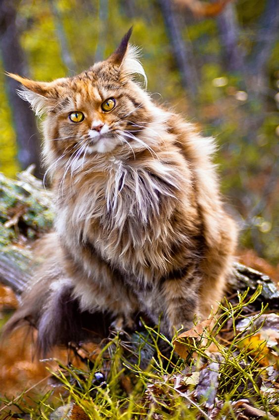 norwegian forest cat 003
