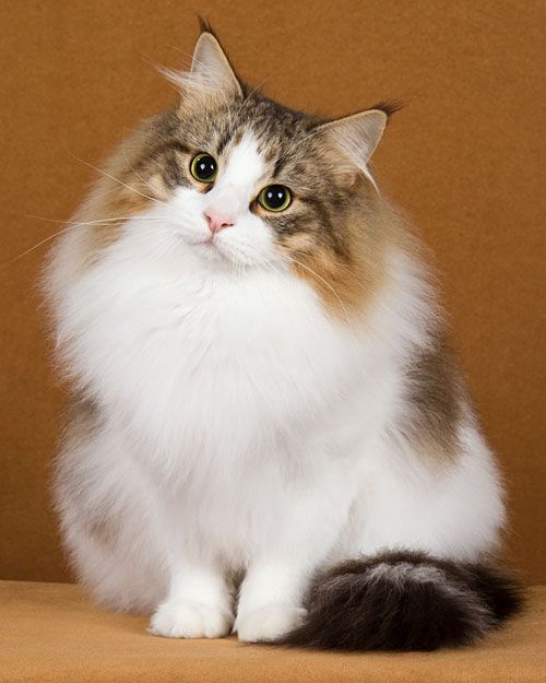norwegian forest cat 004