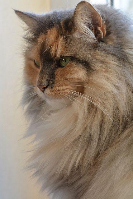 norwegian forest cat 005