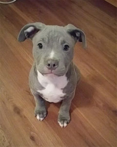 Adorable Pitbull puppy