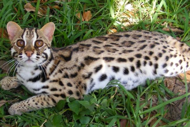 Asian Leopard Cats – Cats that look like leopards
